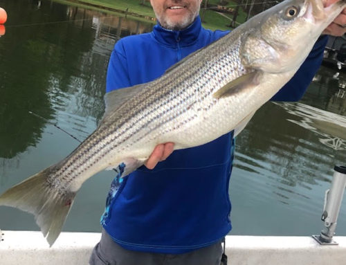 "Full Guided Charter Service, Fishing for the ""Ultimate"" Striped Bass on Beautiful Smith Mountain Lake, VA"